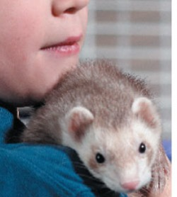 Ferret Care And Proper Grooming Of Your Ferrets Ferret